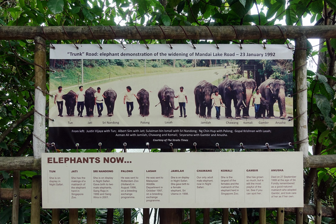 Singapore Zoo Elephants of Asia | joanne-khoo.com