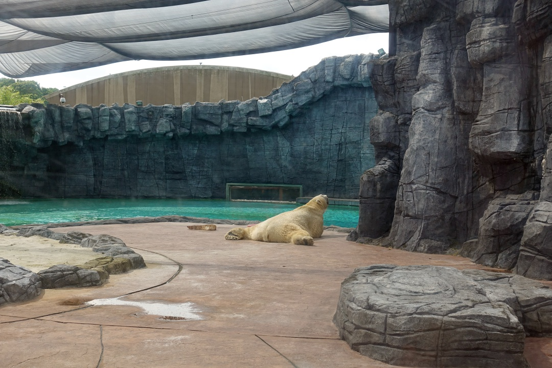 Singapore Zoo Polar Bear | joanne-khoo.com