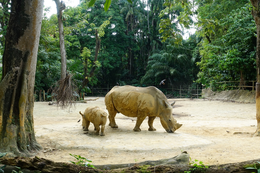 Singapore Zoo White Rhinoceros | joanne-khoo.com