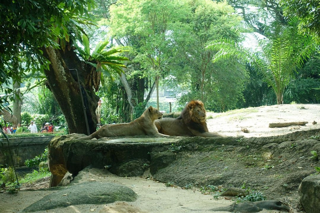 Singapore Zoo Lion | joanne-khoo.com