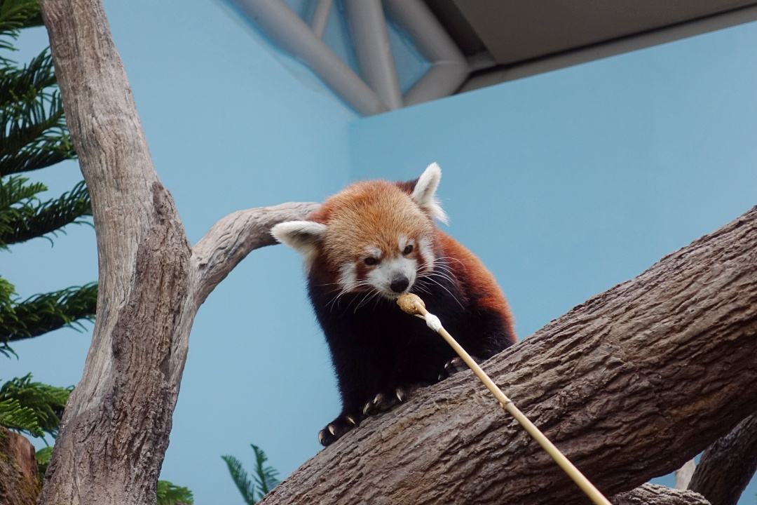Singapore River Safari - Red Panda | joanne-khoo.com